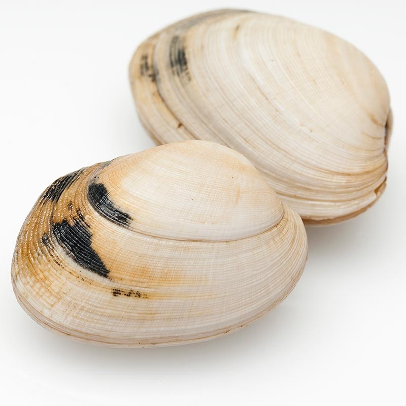 almeja babosa fresca de Galicia